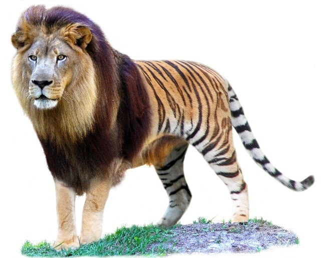 sư hổ